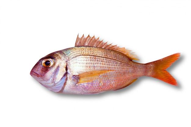 Wspólna ryba leszcza pagrus na białym tle