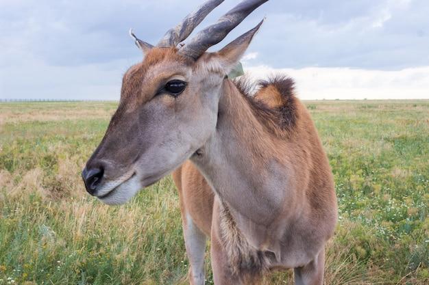 Wspólne eland, eland antilope zbliżenie w polu w lecie. rezerwat askonia nova na ukrainie