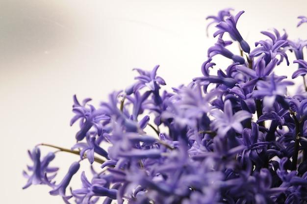 Wspólne holenderski ogród hiacyntowy (hyacinthus orientalis) zamknij w górę. hyacinthus orientalis makro kwiaty, ogród hiacyntowy bulw, bokeh tle. kwiat hyacinthus na białym tle