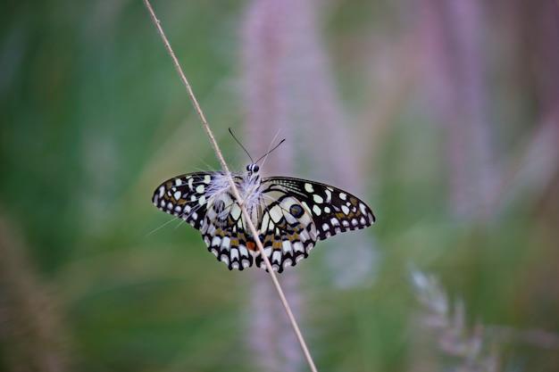 Wspólne lime butterfly