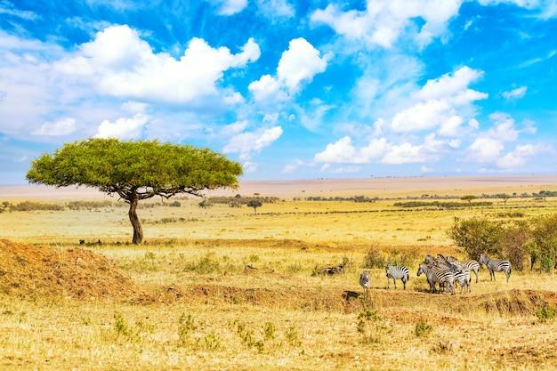Wspólne zebry equus quagga spaceru w parku narodowym masai mara w pobliżu wielkiego drzewa akacji. afrykański krajobraz. kenia, afryka.