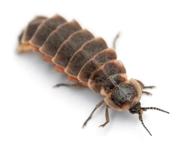 Wspólny robak jarzeniowy