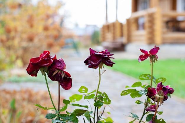 Wyblakłe róże w ogrodzie bordowe róże na tle drewnianego domu z bali z nieostrym tłem na ...