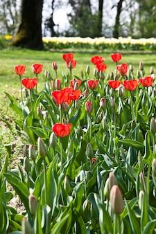 Wybór tulipanów wypełnionych słońcem. wszystkie kwiaty zwróciły głowy do światła
