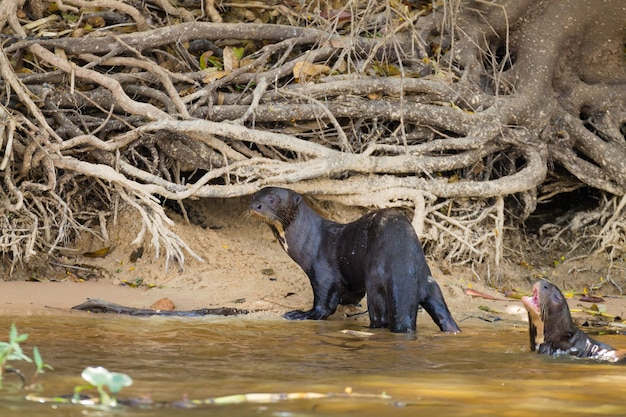 Wydra olbrzymia na wodzie z terenów podmokłych pantanal w brazylii. brazylijska przyroda. pteronura brasiliensis