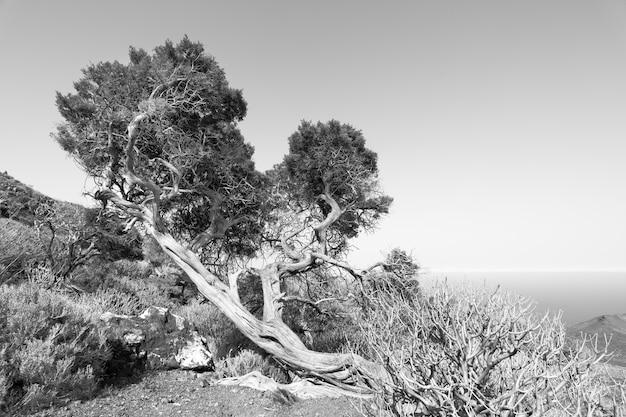 Wygięte przez silny wiatr drzewo na wyżynach el hierro na wyspach kanaryjskich. obraz czarno-biały