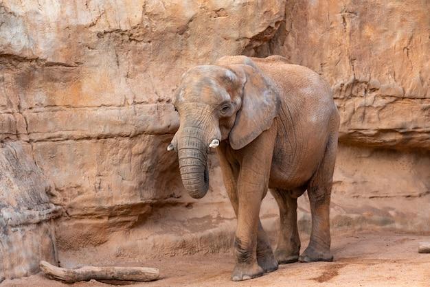 Wygląd afrykańskiego sawanny słoń, loxodonta africana, jak przejść przez zoo.