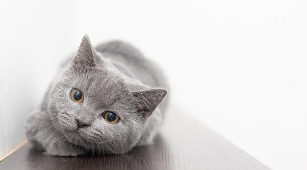 Wygląda szary, zadymiony, futrzany kot brytyjski.