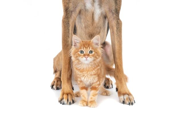 Wyglądający rudy kotek stojący między nogami psa.