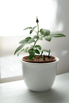 Wyhodowana roślina w białym garnku ceramicznym na białym tle.