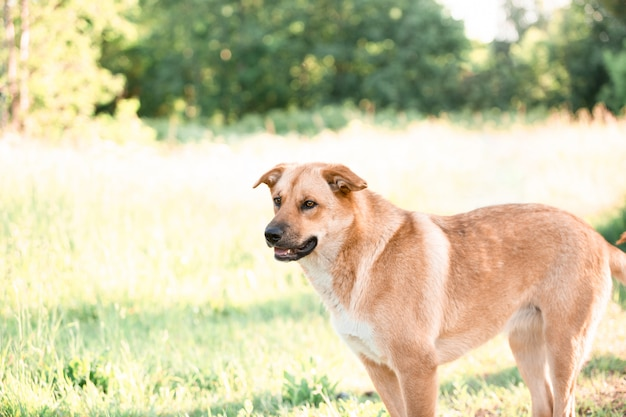 Wyhodowany bezdomny rudy pies. zwierzak ze schroniska. letni park.