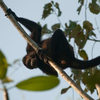 Wyjec małpa w drzewie w costa rica