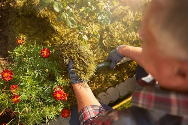 Wykadrowane zdjęcie starzejącego się mężczyzny trzymającego garść suchej trawy, chroniącego swoje rośliny przed zimnem