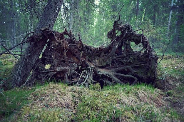 Wykopany świerk w lesie, korzenie martwego drzewa