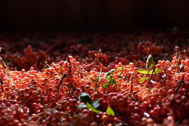 Wykroje z czerwonej jarzębiny. czerwona jarzębina zalega suszenie na strychu
