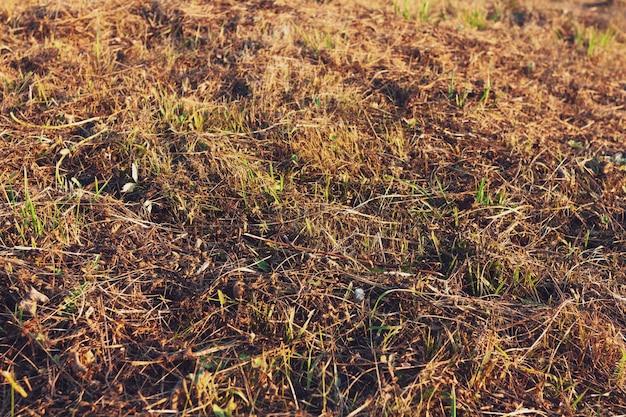 Wypalona sucha trawa jesienią