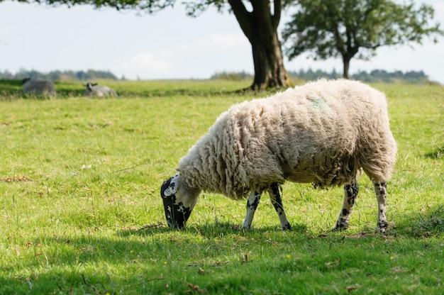Wypas dużych białych owiec na łące