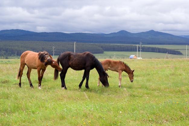 Wypas koni na ranczu