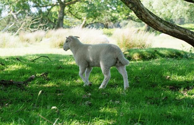 Wypas kroił małe owce na łące