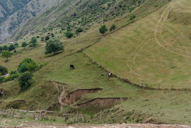 Wypas krów na pięknych pastwiskach wysokogórskich. przemysł rolniczy.