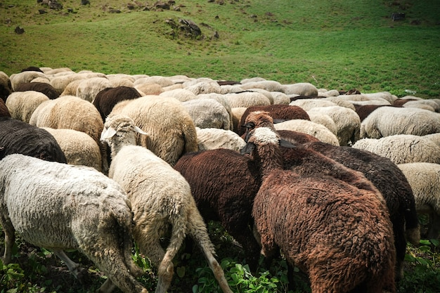 Wypas owiec w greenfield
