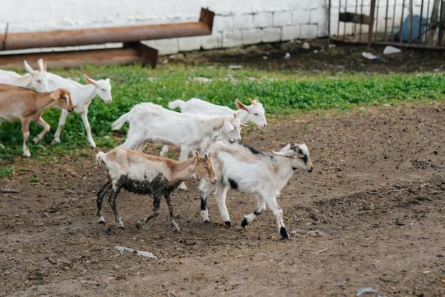Wypas stada kóz i owiec na świeżym powietrzu na ranczo. wypas bydła, hodowla zwierząt. hodowla bydła.