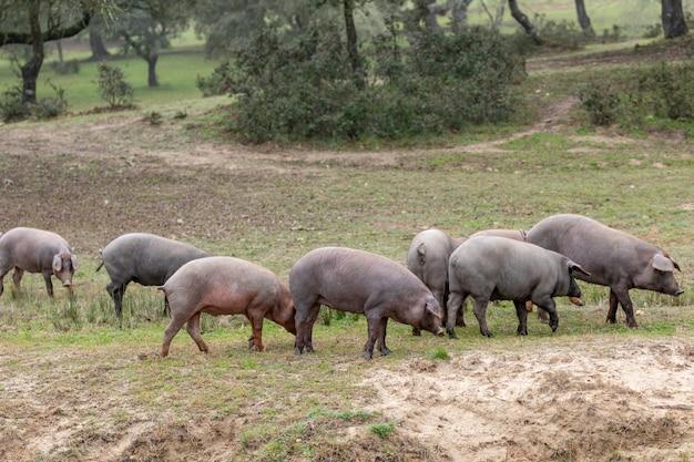 Wypas świń iberyjskich