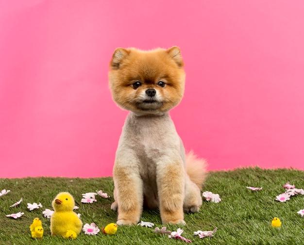 Wypielęgnowany pies pomorski siedzi w trawie z kwiatami i pisklętami przed różowym tle