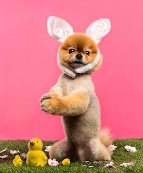 Wypielęgnowany pies pomorski stojący w trawie na tylnych łapach i noszący opaskę z uszami królika