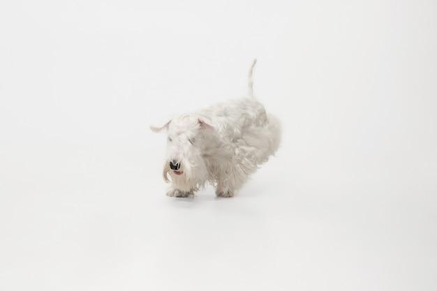 Wypielęgnowany szczeniak terier z puszystym futrem. ładny biały mały piesek lub zwierzę bawi się i działa na białym tle.
