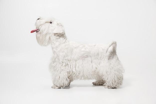 Wypielęgnowany szczeniak terier z puszystym futrem. śliczny biały mały piesek lub zwierzak bawi się i biegnie. miejsce w negatywie, aby wstawić tekst lub obraz.