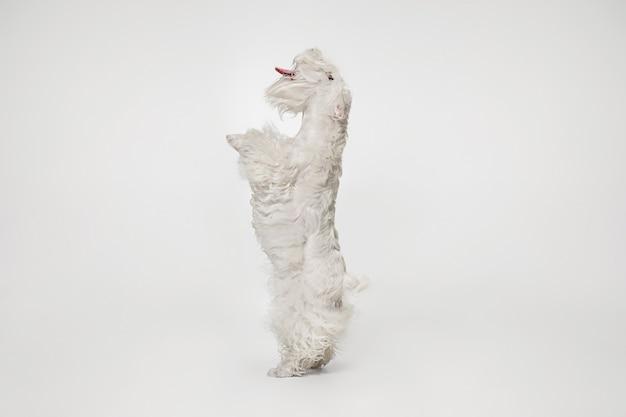 Wypielęgnowany szczeniak terier z puszystym futrem