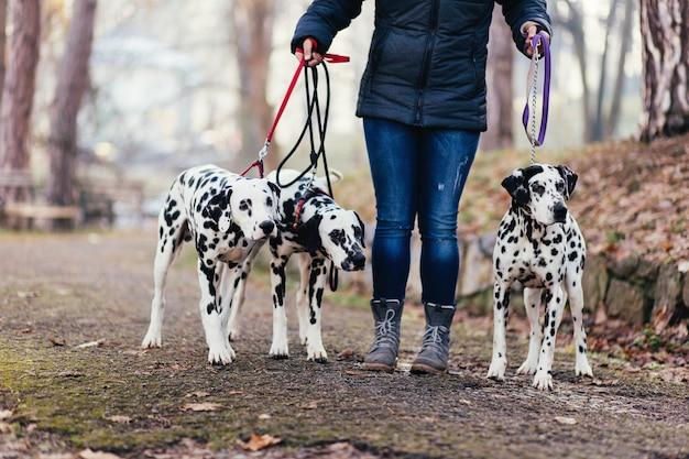 Wyprowadzacz psów z psami dalmatyńskimi w parku.