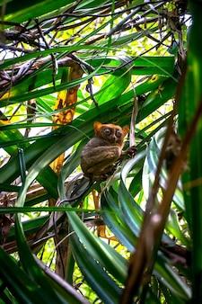 Wyrak to mała rzadka małpa z wyspy bohol na filipinach