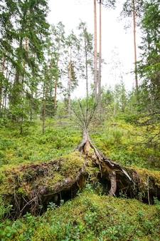 Wyrwane drzewa po huraganie w lesie w europie wschodniej.