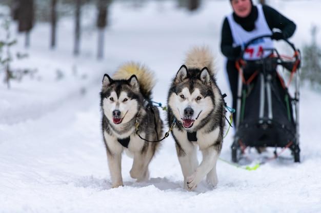 Wyścigi psich zaprzęgów. zespół psich zaprzęgów psich zaprzęgów biegnie i ciągnie psiego kierowcę. zawody w mistrzostwach sportów zimowych.