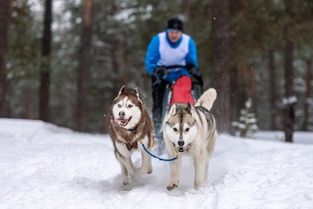 Wyścigi psich zaprzęgów. zespół psów psich zaprzęgów ciągnie sanie z psim masztem. zimowe zawody.