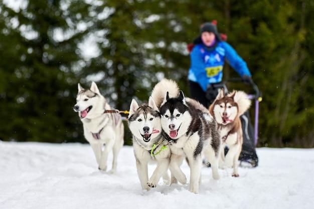 Wyścigi psów husky. zimowe zawody drużynowe psich zaprzęgów sportowych. siberian husky ciągną sanie z maszerem. aktywny bieg po zaśnieżonej trasie biegowej