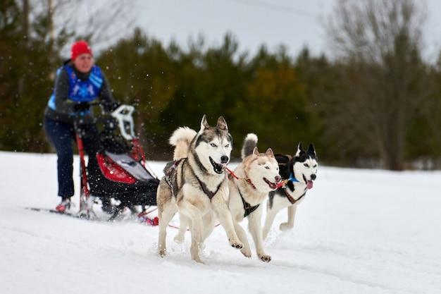 Wyścigi psów husky. zimowe zawody drużynowe psich zaprzęgów sportowych. siberian husky ciągną sanie