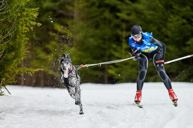 Wyścigi psów skijoring. zimowe zawody sportowe psów. pointer pies ciągnie narciarza. aktywna jazda na nartach na szosie
