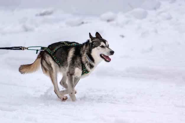 Wyścigi psów zaprzęgowych. husky zaprzęg psich zaprzęgów w bieganiu w uprzęży i ciągnięciu psa kierowcy. zawody mistrzostw sportów zimowych.