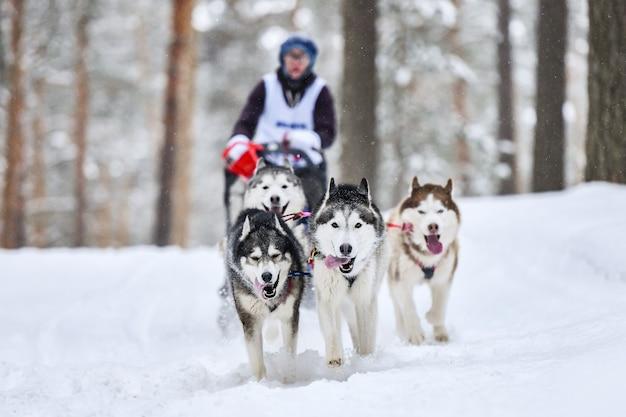 Wyścigi psów zaprzęgowych. psy zaprzęgowe husky ciągną sanie z psim maszerem. zimowe zawody.