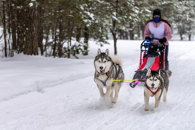 Wyścigi psów zaprzęgowych. zespół psów zaprzęgowych husky ciągnie sanie z psim kierowcą. zimowe zawody.
