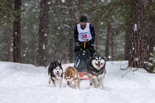 Wyścigi psów zaprzęgowych. zespół psów zaprzęgowych husky ciągnie sanie z psim maszerem. zimowe zawody.