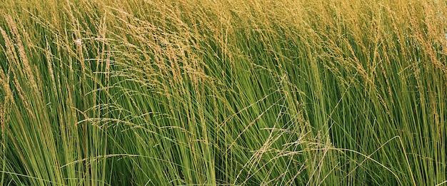 Wysoka, kwitnąca trawa, łodygi ugięte na silnym wietrze. naturalne zielone tło.