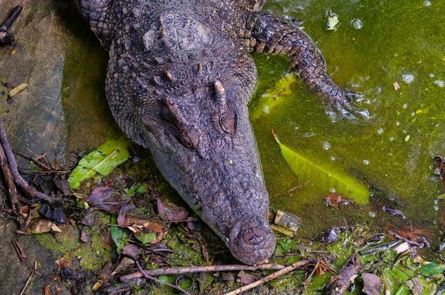 Wysoki kąt strzał aligatora w brudnym jeziorze w dżungli