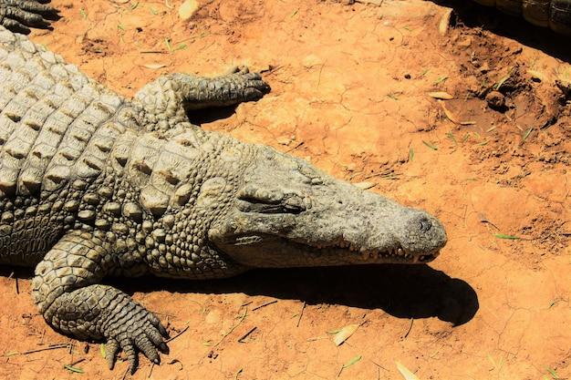 Wysoki kąt strzał krokodyla nilowego czołgającego się po ziemi w świetle słonecznym w ciągu dnia