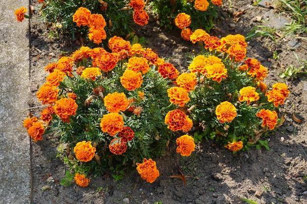 Wysoki kąt strzału bliska pomarańczowych kwiatów nagietka meksykańskiego w krzakach w pobliżu ulicy