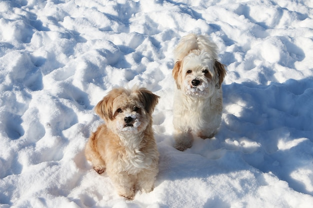 Wysoki kąt strzału dwóch ślicznych białych szczeniąt puszystych na śniegu
