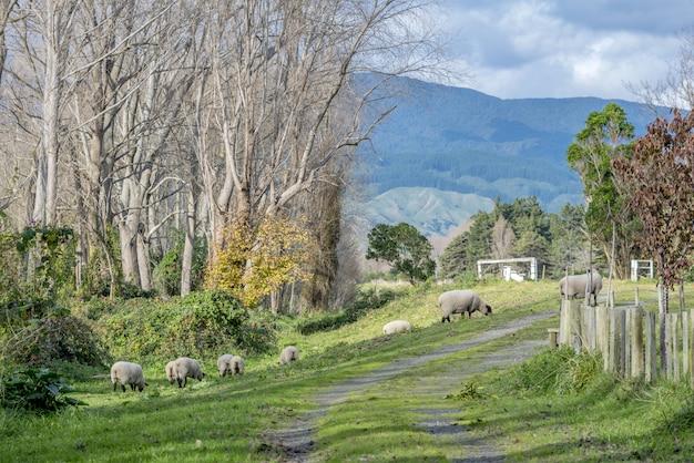 Wysoki kąt strzału owiec wypasanych w pięknym obszarze wiejskim z górami